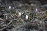 Առաջին ձնծաղիկը,Շուշի Ջդրդուզ