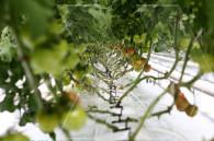 Тепличное хозяйство в Араратской области
