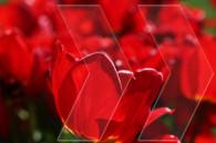 Կարմիր ծաղիկ մը գարունի