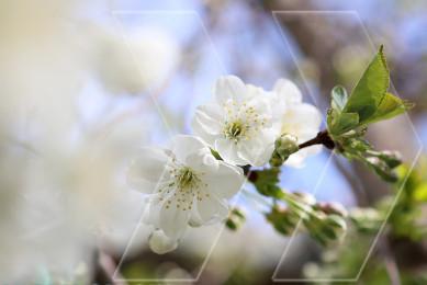 Բալենու ծաղիկներ