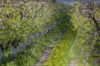 Արագածոտն. Խնձորի այգի