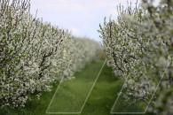 Ծառ ու ծաղկունք