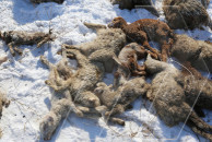Sheep rescued from Azerbaijanis mauled to death by dogs in 'safe' Yerevan