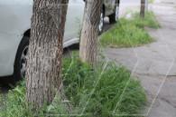 Городские власти оставили деревья в Ереване без побелки