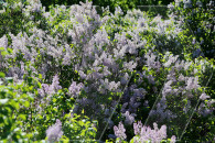 The scent of lilacs: Botanical Garden in Yerevan