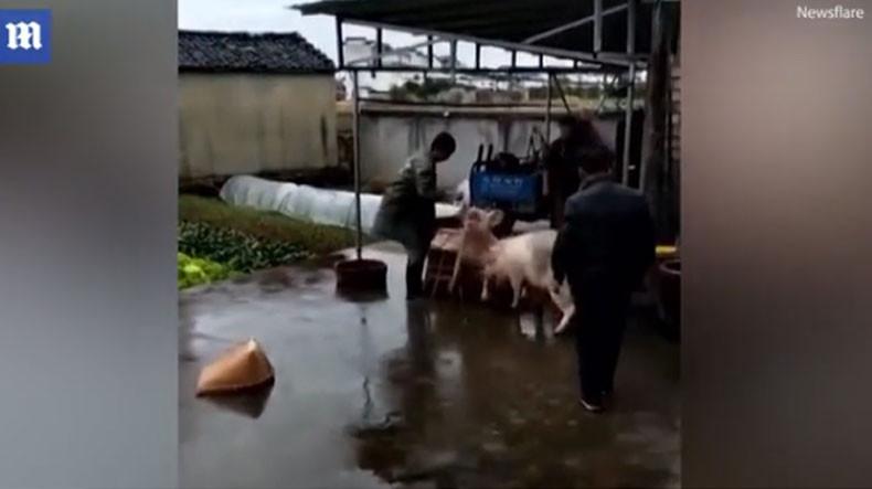 Свинья высвободила своего собрата прямо из-под топора мясника: видео