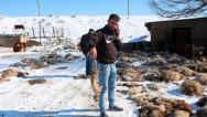 Երևանում շները հոշոտել են ոչխարներին